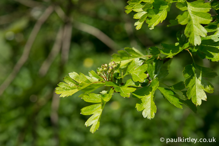 Hawthorn in leaf and about to blosson
