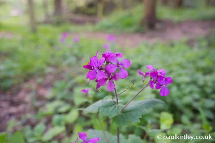 The flowers of Honesty, Lunaria annua, an escapee in the cabbage family, Brassicaceae. Note the four petals of the flowers. Photo: Paul Kirtley