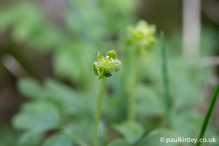 The inforescence of Moschatel, Adoxa moschatellina