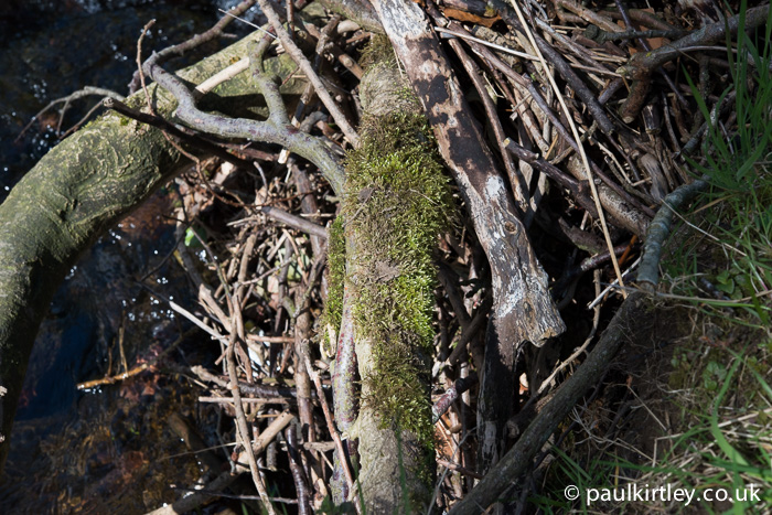 Mud transferred from the sole of a boot to the moss on this exposed root. Photo: Paul Kirtley