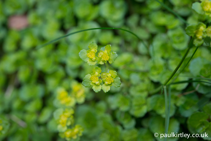 opposite leaved golden saxifrage flowers