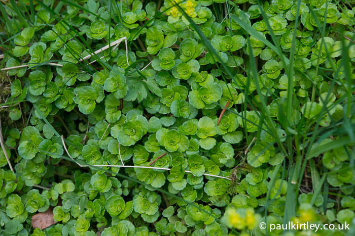 Opposite leaved golden saxifrage leaves