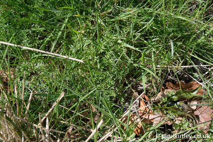 Once I got my eye in properly, I could see hundreds of pignut plants in this area. Photo: Paul Kirtley