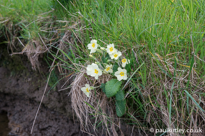 I saw many primroses on this walk, all of them beautiful but I particularly liked those which were growing out of the stream bank.  Photo: Paul Kirtley