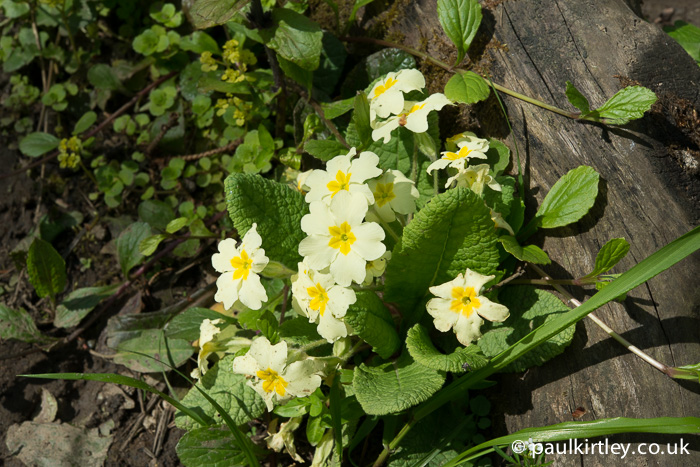 Common primrose, Primula vulgaris.