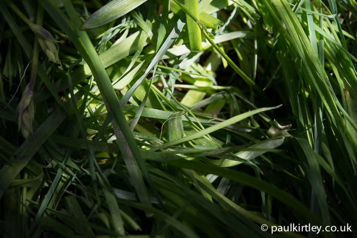 Here you can see a roe deer hair in the grass on which it has rested. Photo: Paul Kirtley