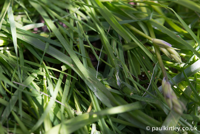 A wiggly deer hair in the grass. Photo: Paul Kirtley