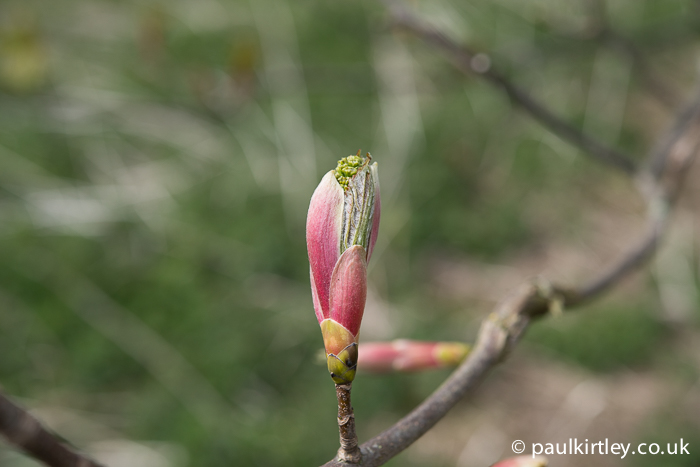 Sycamore bud bursting