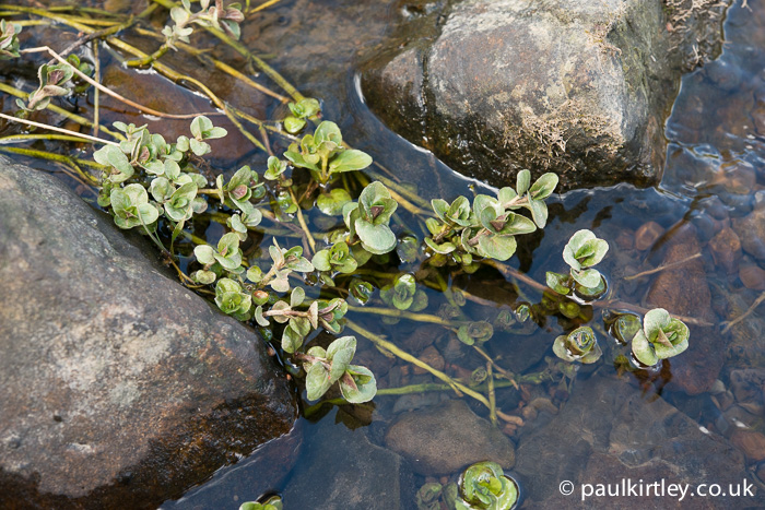 Wild water mint in a stream