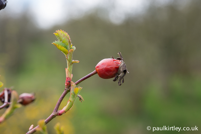 Rosehip from last year