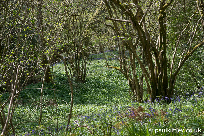 Hazel and bluebell woods in the north of England
