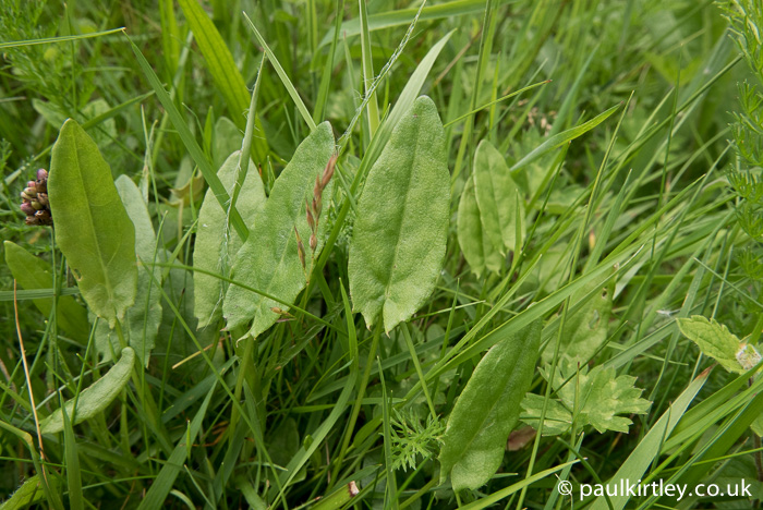 Common sorrel, Rumex acetosa.