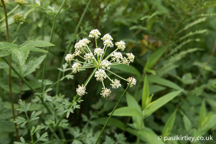 Hemlock Water Dropwort inflorescence.