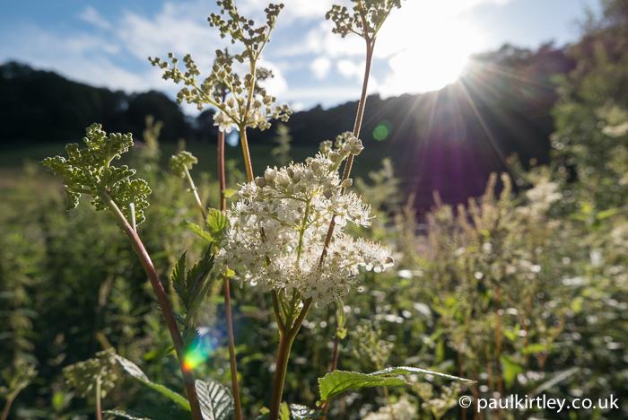 Meadowsweet, Filipendula ulmaria contre jour
