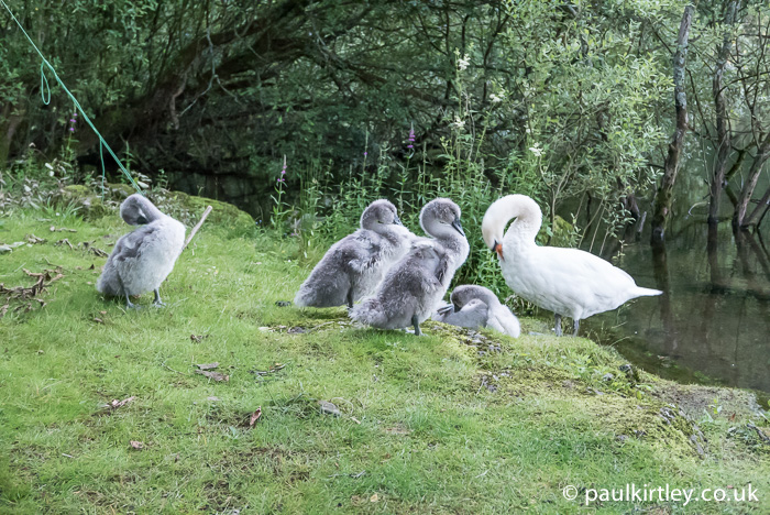 Mute swan cygnets and parent
