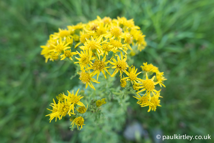 Yellow dasiy-like flowers of ragwort, Senecio jacobaea