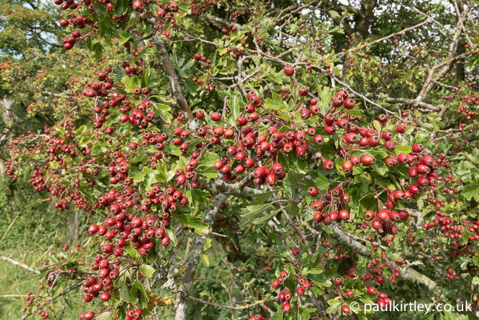 Bumper crop of hawthorn fruit