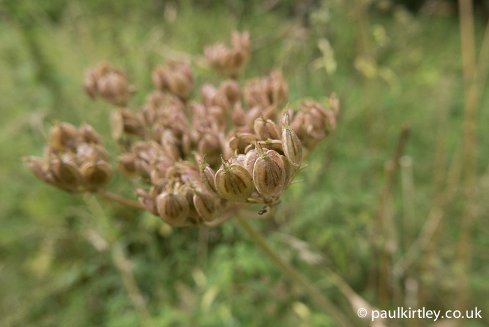 The seeds of hogweed, Haracleum sphondylium. Photo: Paul Kirtley