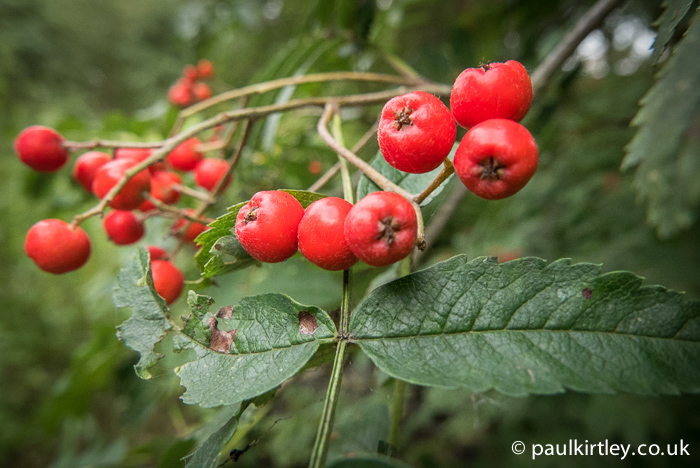 Juicy red Rowan berries