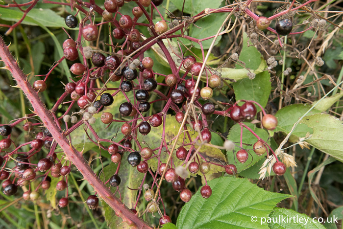 Elderberries of varying ripeness