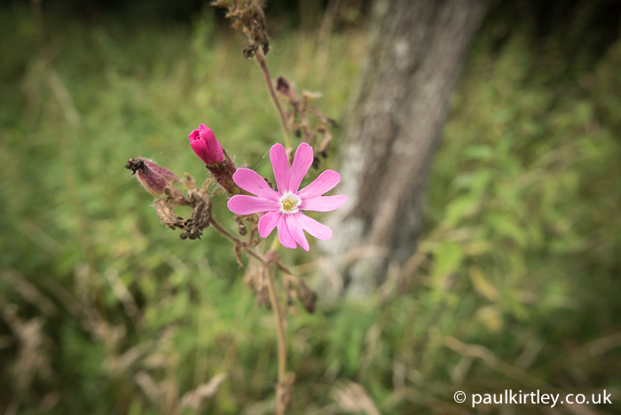 Silene dioica flower