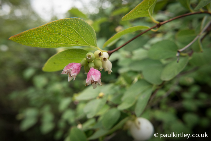 The delicate flowers of Snowberry, Symphoricarpos albus.  County Durham, UK.
