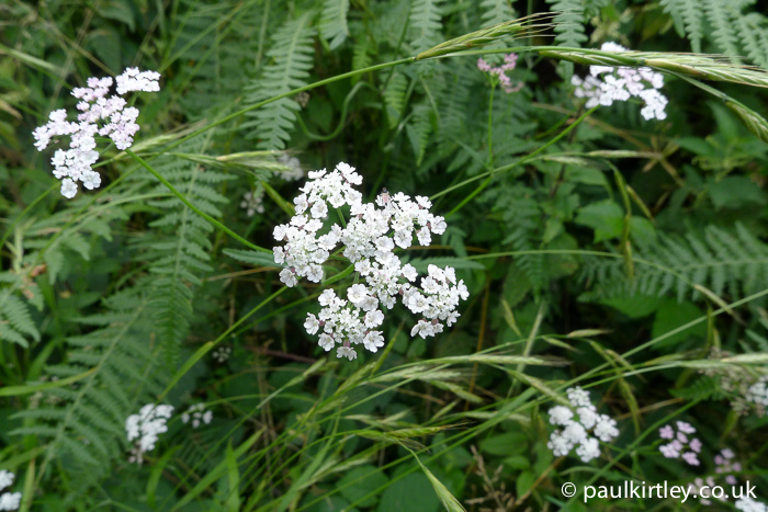 Apiaceae: white umbel of flowers against a green backgrop