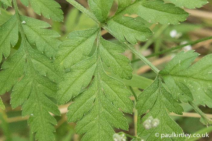On closer inspection, the leaves have hairs on the top, which are pressed flat to the leaf surface. Photo: Paul Kirtley