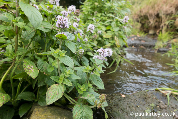 Mentha aquatica flowers