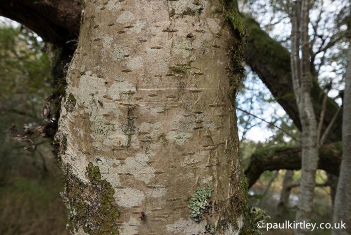 Rowan bark.