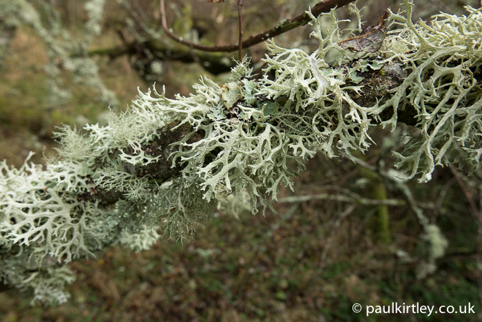 Lichens seem to particularly like the long thin branches of bird cherry. If dry enough these lichen species make an OK fire-lighter. Photo: Paul Kirtley