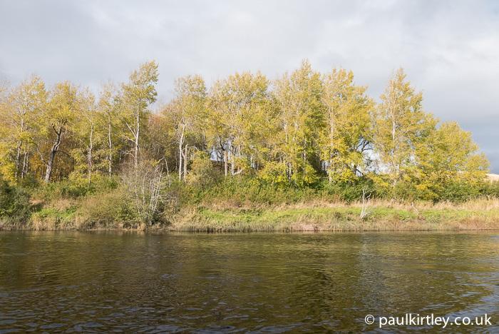 European aspen trees