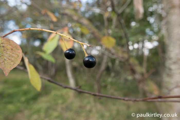 The attractively glossy berries of bird cherry, Prunus padus, are high in cyanogenic glycosides and cannot be eaten raw. Photo: Paul Kirtley