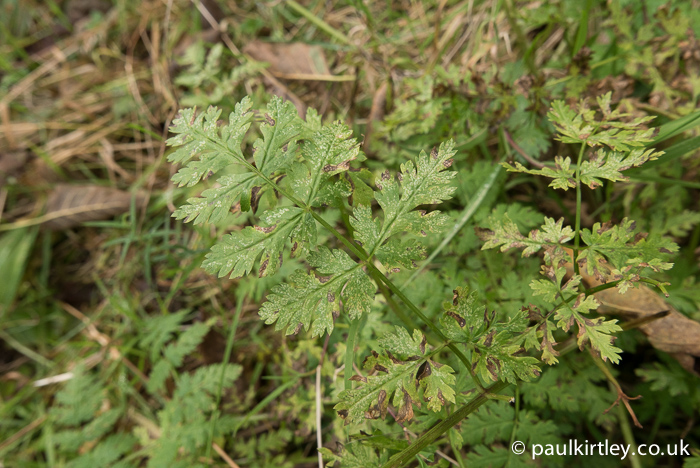Leaves of sweet cicely