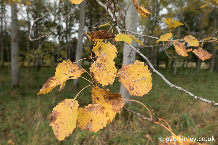 Yet more aspen, Populus tremula, in this area.  Here you can see more leaf detail as well as the lovely autumn colours coming through. Photo: Paul Kirtley