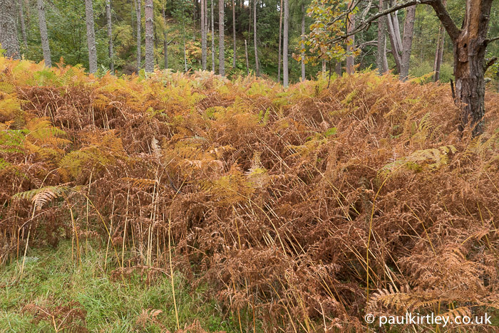 Literally day-by-day the bracken was turning from green to yellow to brown.  Photo: Paul Kirtley