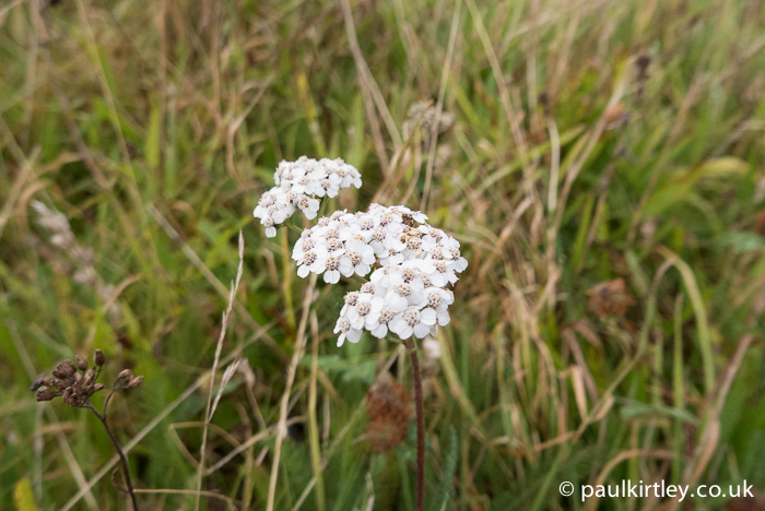 Yarrow in flower