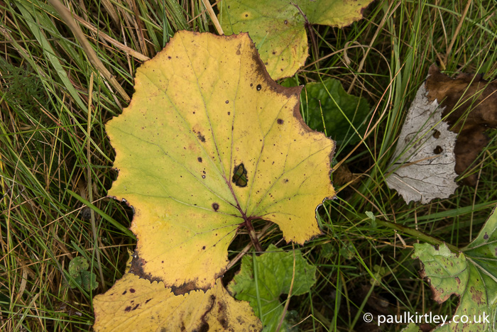 Another member of the daisy family is Coltsfoot, Tussilago farfara. Here the usual green of the upper surface of leaves is giving way to an autumnal yellow. Photo: Paul Kirtley