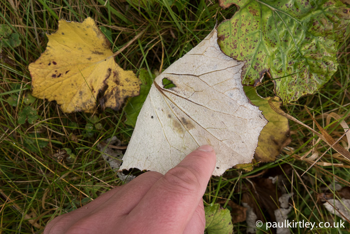 The underside of the coltsfoot leaf, however, still possesses it's distinctive white colouration and moleskin texture. Photo: Paul Kirtley