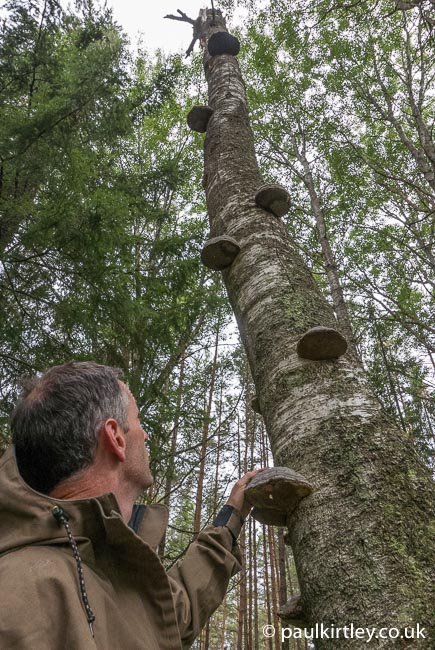 Looking up a tree with a lot of hoof fungi on it.