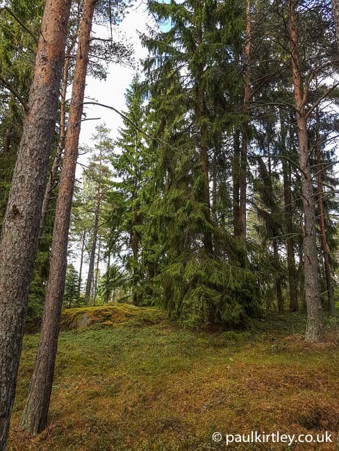 Swedish forest with pinus sylvestris and picea abies