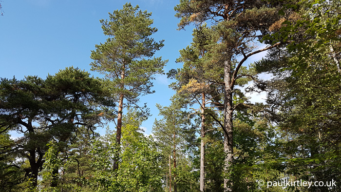 Pine and spruce trees in sunshine