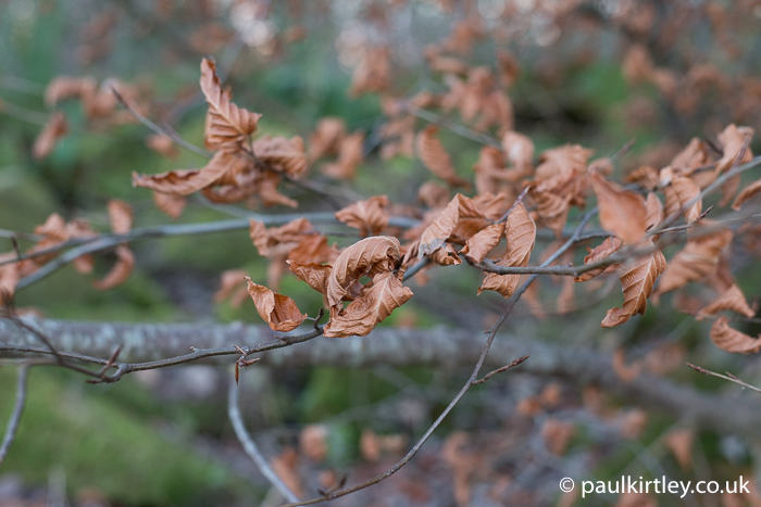 beech leaves on tree in winter
