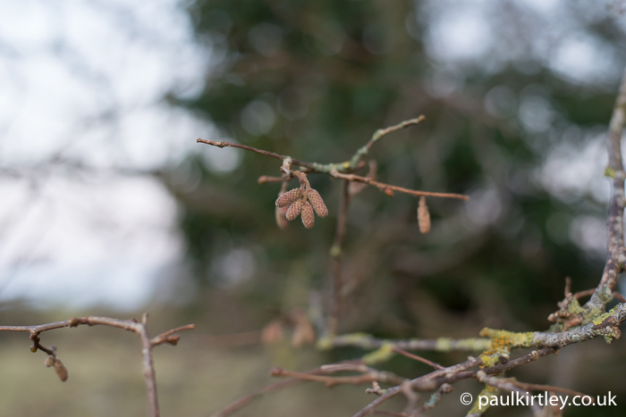 hazel catkins in winter
