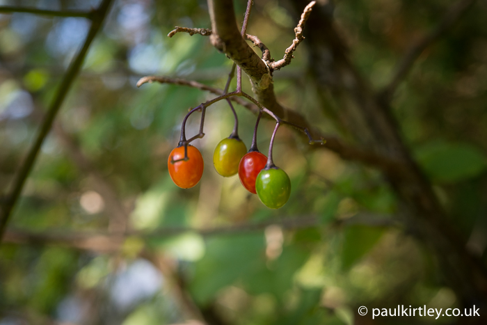 red, yellow and green fruits of woody nightshade