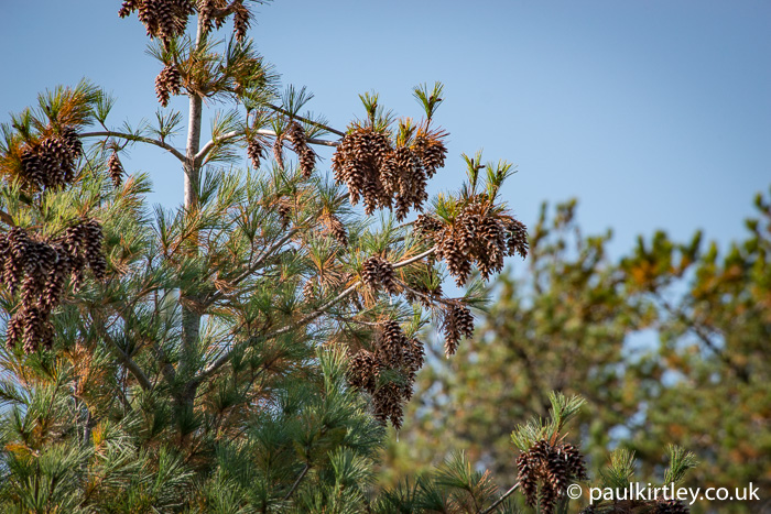 White pine cones on top of a white pine tree.