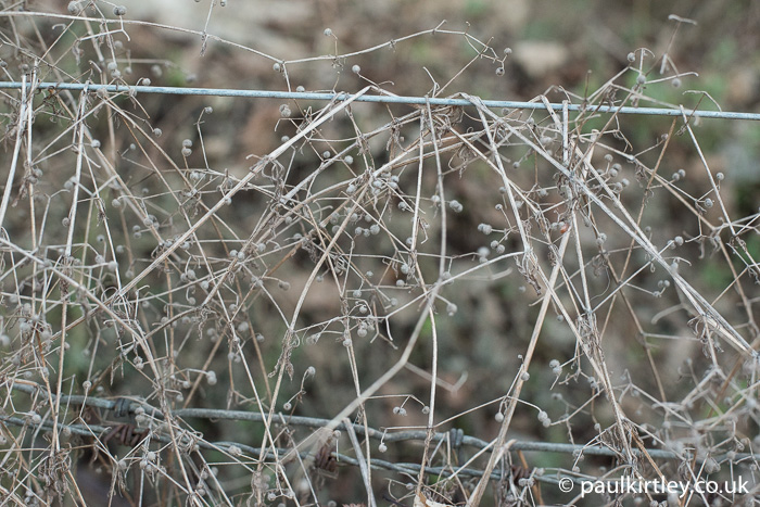 Goosegrass strewn over a fence