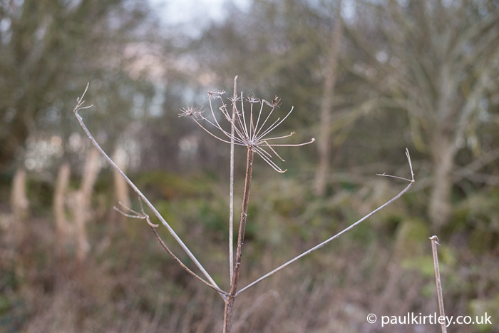 umbrella like structure of old apiaceae