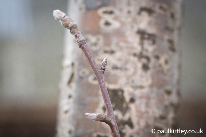 rowan buds and bark