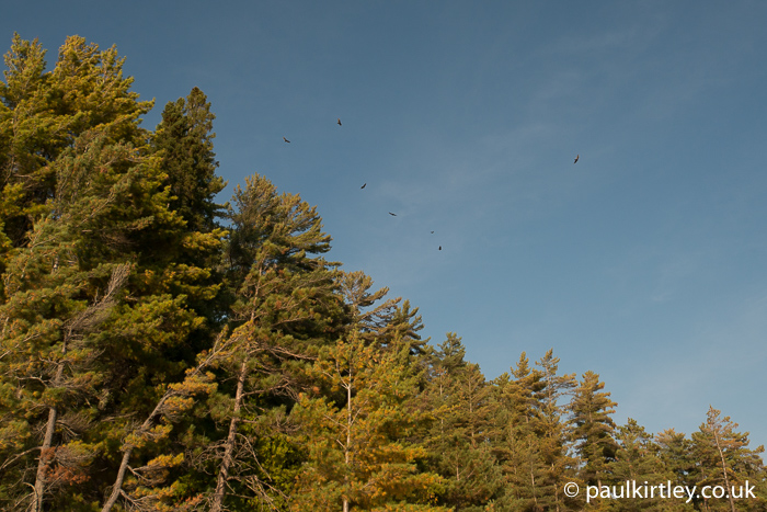 Turkey vultures flying over tree tops